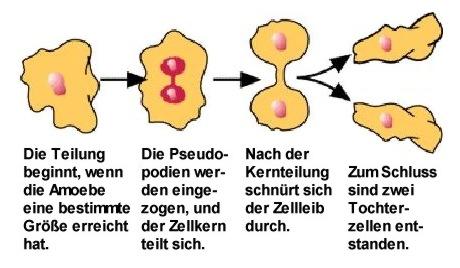Amoebe: Teilung.