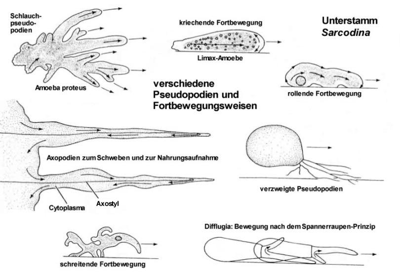 Unterstamm Sarcodina: verschiedene Pseudopodien.