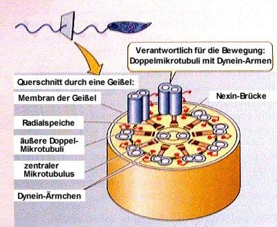 Feinstruktur einer Geißel: das 9+2-Muster der Mikrotubuli.