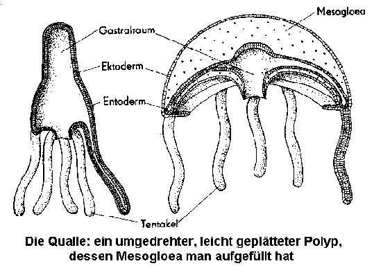 Qualle als umgedrehter Polyp. Nach R. Hesse und L. Doflein.