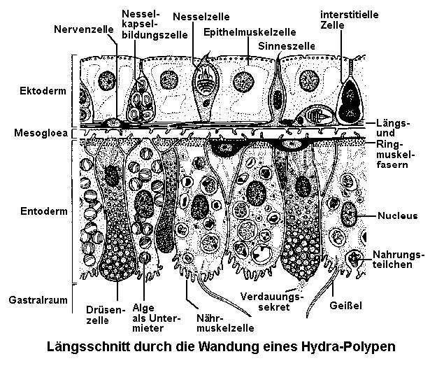 Zelltypen bei Hydra. In Anlehnung an P. Tardent und A. Kühn.