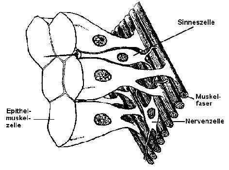 Die Faserbündel von Epithelmuskelzellen. Nach G. O. Mackie.